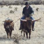 Ponying a young steer calf off TR