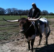Texas Longhorn Cattle Riding Steers